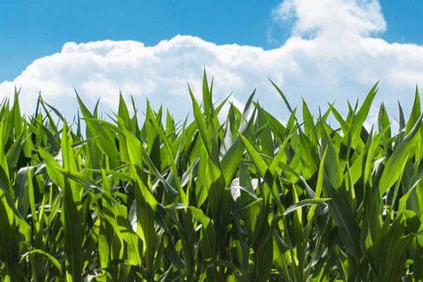 Corn Maize Seed Varieties